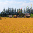 Stock Photo: Rice farm