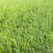 Paddy field — Stock Photo #39166511