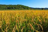 Paddy field — Stock Photo