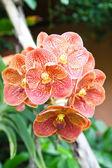 橙色兰花 — 图库照片