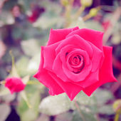 Red rose in garden — Stock Photo