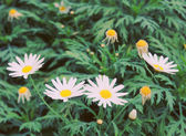 Daisy flowers in garden — 图库照片