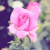 Rose in garden — Stock Photo