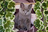 Small British kitten — Stock Photo