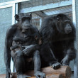 Stock Photo: Pair of chimpanzees