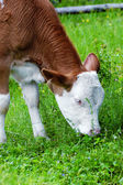 Grazing calf — ストック写真