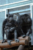 Pair of chimpanzees — Stock Photo