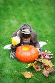Little girl looking inside big pumpkin — 图库照片