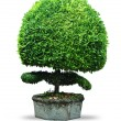 Tree isolated — Stock Photo