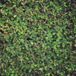 Green leaves wall background — Stock Photo #30151571