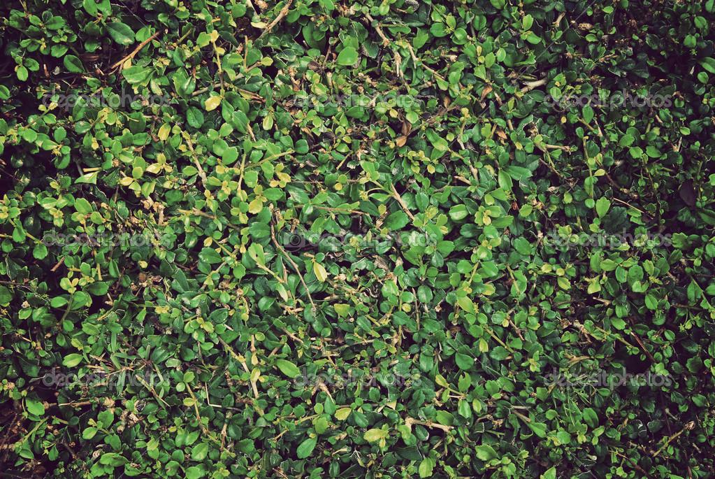 绿色的树叶墙背景 — 图库照片08kritiya#30151571