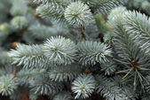 Blue Spruce — Stock Photo