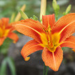 Tiger Lily — Stock Photo #31518203
