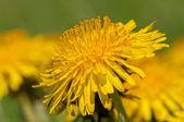 Dandelion Flower — Stock Photo