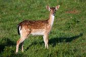 Deer in a Grass — Stock Photo