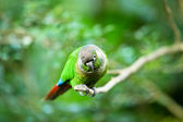 Staring green parrot — Stock Photo