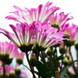 Daisy Pink Flower — Stock Photo
