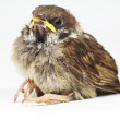New born wren bird — Stock Photo