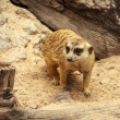 Stock Photo: Meerkat Wildlife