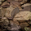 Dry Rose Leaf — Foto Stock
