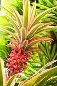 Red Pineapple — Stock Photo