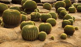 Big Cactus — Stock Photo