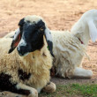 Sheeps lie down — Stock Photo #34902709