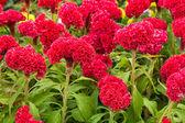 Cockscomb Flower — Stock Photo