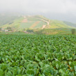 Stock Photo: Cabbage fields