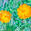 Marigold yellow — Stock Photo