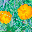 Marigold yellow - Stock Photo