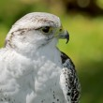 Gyrfalcon, bird — Stock Photo