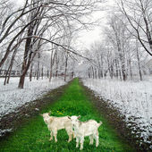 Two goatlings in winter park — Stockfoto