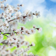 Blossoming, blooming apricot  — Stock Photo #24349019