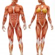 Male and Female musculoskeletal system — Stock Photo #14002502