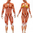 Male and Female musculoskeletal system - Stock Photo