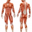 Stock Photo: male musculoskeletal system