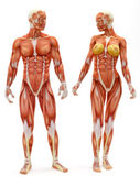 Male and Female musculoskeletal system — Stock Photo