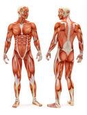 Erkek kas-iskelet sistemi — Stok fotoğraf