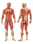 Sistema muscolo-scheletrico maschile — Foto Stock