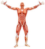 Male musculoskeletal system looking upward — Stock Photo