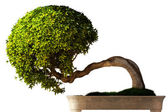 Bonsai tree side view — Stock Photo