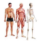 Ilustración masculino de piel, músculo y sistemas esqueléticos — Foto de Stock