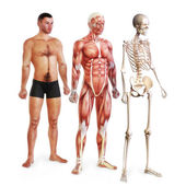 Male illustration of skin, muscle and skeletal systems — Stock Photo