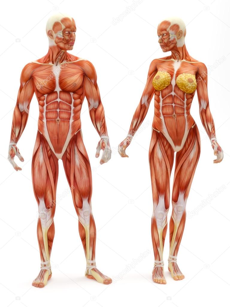 Male and Female musculoskeletal system — Stock Photo © digitalstorm ...