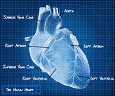 人的心脏蓝图概念. — 图库照片