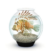 Lion fish to big for the fishbowl — Stock Photo