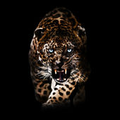 Angry Leopard piercing through the night — Stock Photo