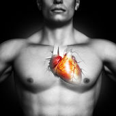 Human heart anatomy illustration — Stock Photo
