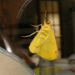 Yellow butterfly - Photo